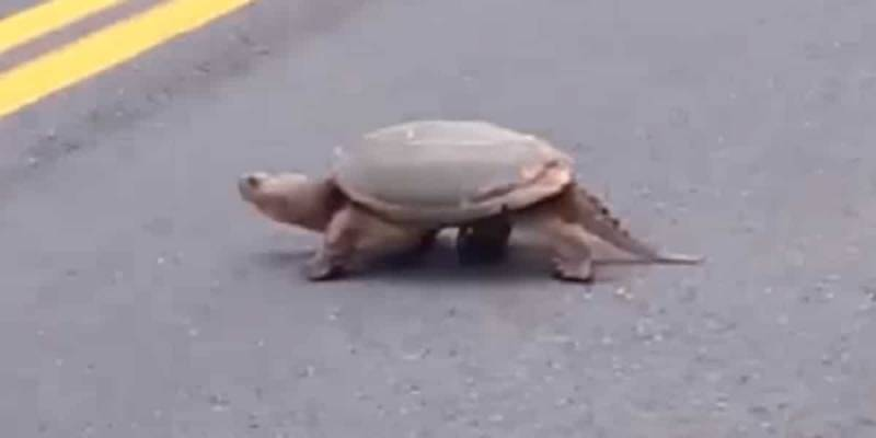 Crossing Guards Keep Snapping Turtles From Crossing Into Extinction (VIDEO)