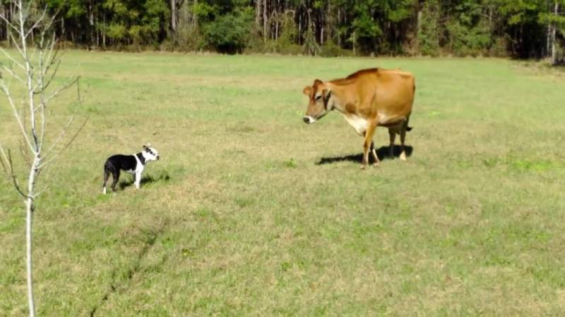Boston Terrier Roams Around Family Farm–Comes Face To Face With A Cow